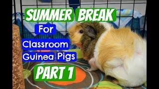 NOTE: This may not be an option for every classroom teacher with guinea pigs. This just happens to work out for me. I have great ...