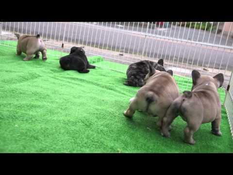 フレンチブルドッグの子犬 6月3日(生後42日) 三重