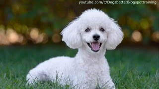 Top 10 family dog Breeds kid-friendly