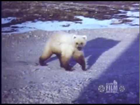 White Grizzly Bear In Northern Alaska, 1970