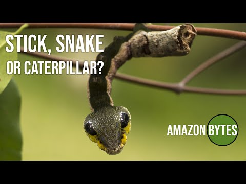 This Astonishing Caterpillar Transforms Itself Into A Snake When