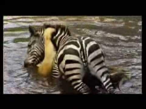 斑馬奮力一搏試圖淹死獅子,逃出生天!!