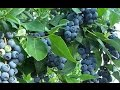 How to Get FREE Blueberry Plants from Store Bought Blueberries!