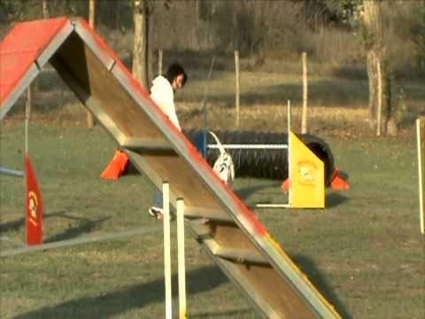 Il nostro Multi Ch. Jack (Oliver) è anche un ottimo atleta in agility!!!