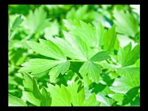 how to harvest lovage
