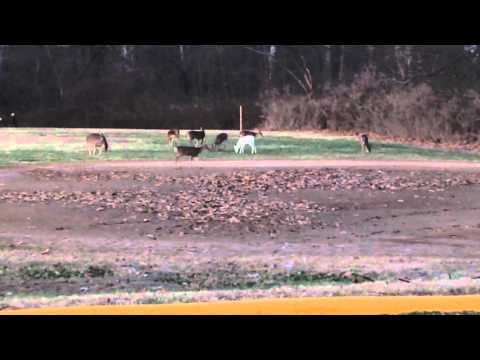 Albino Deer Spotted At Jefferson Barracks!