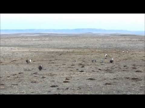 Sage Grouse Strut