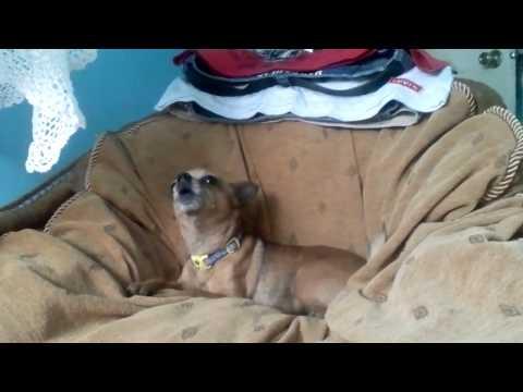 My Chihuahua Barking.