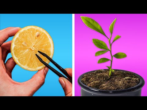 HOW TO GROW A LEMON TREE || REGROWING HACKS FOR YOUR PLANTS!