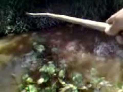 o gaucho da retro pescando traira no arrozal em itajai
