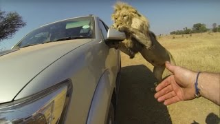 Video Lions Attack Car Full Of People MP3, 3GP, MP4, WEBM, AVI, FLV Agustus 2017