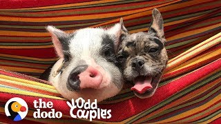 Dog And Pig Are The Cutest, Closest Brothers Ever | The Dodo Odd Couples by The Dodo