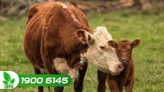 Chăn nuôi bò | Cách xử lý khi bò mẹ không cho con bú