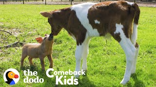 Tiny Piglet's Whole World Changes When She Meets This Baby Cow | The Dodo Comeback Kids by The Dodo