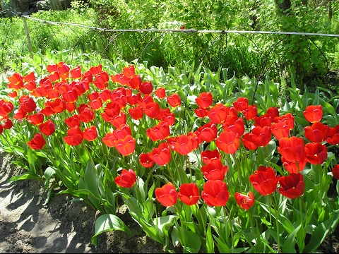 Эти красивые тюльпаны
