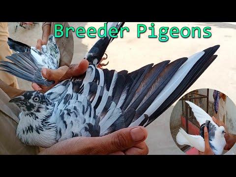 Breeder Pigeons | Par kunda aur ankh ka shoq | pigeons lovers