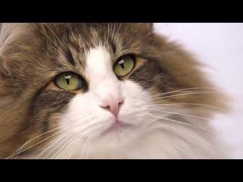 很少見的毛茸茸挪威森林貓