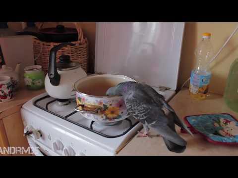 Как наглый голубь отжал у меня гречку. Супер прикол - DomaVideo.Ru