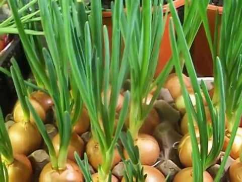 Зелёный лук в домашних условиях видео