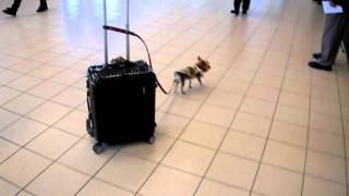 3 lb yorkie and his 30 lb carry on