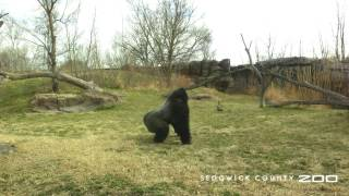 Второй раунд: горилла и гуси не поделили территорию зоопарка