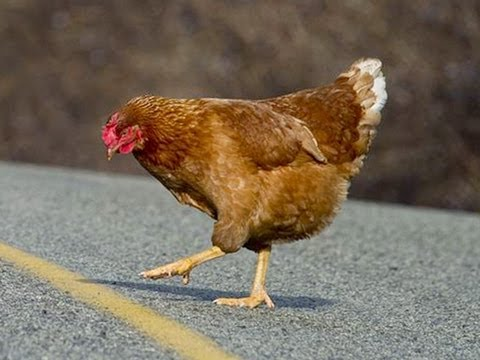 Why Did The Chicken Cross The Road? (видео)
