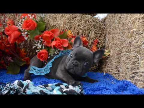 Malcom AKC Blue French Bulldog Puppy for sale.