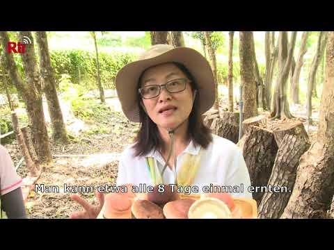 Taiwan: Shiitakeanbau als Nebenerwerb für Waldbauern