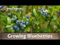 Download Lagu Planting Blueberries & Growing Blueberries Mp3 Free