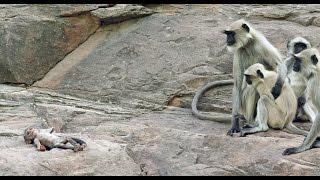Video Langur Monkeys Grieve Over Robot Monkey MP3, 3GP, MP4, WEBM, AVI, FLV Juli 2018