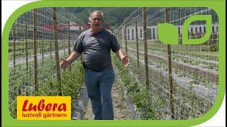 Die Tomatenzüchtung bei Lubera