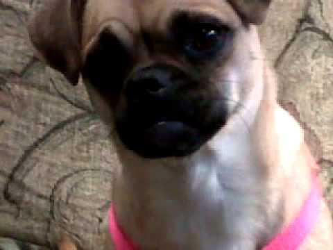 Video of adoptable pet Roxy