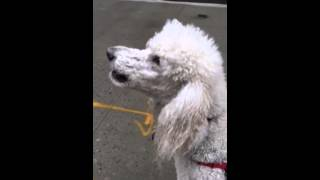 Funny - Cute Standard Poodle Howls And Barks At Ambulance Siren