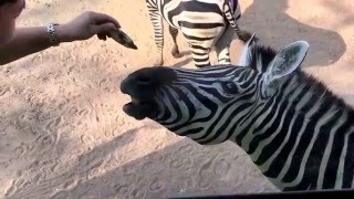 Bo Phloi (Kanchanaburi) Thailand  city pictures gallery : Feeding zebra with banana at Safari Park Kanchanaburi Bo Phloi Thailand