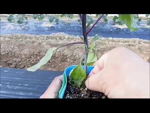 水茄子 定植作業 5月17日