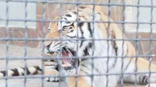 Раздразнили тигра