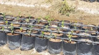 goldens sivi kükürt ve yapraktan agrolive uygulamasiyla fark