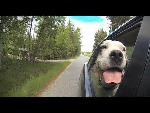Psy w samochodzie podczas jazdy