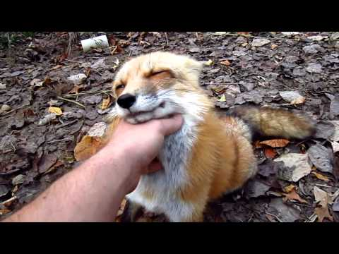 I've never wanted a pet fox more than I do right now