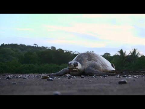 Costa Rica: Schildkrötenschutz am Strand von Ostion ...