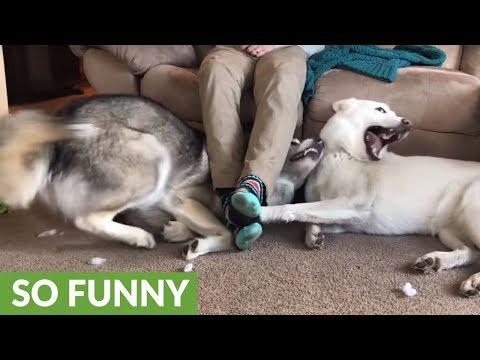 lotta-tra-cani-per-chi-sta-ai-piedi-dellumano