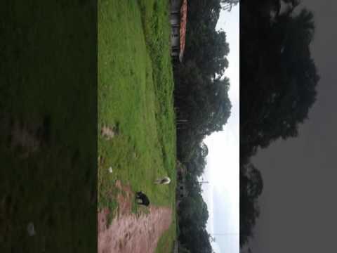 Fim de tarde nas cuieiras em Cachoeira do Arari com Armando caçarola.