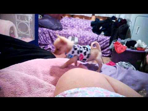 Cutest Puppy Ever / Princess Esmeralda teacup Chihuahua