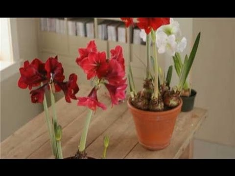 how to replant amaryllis