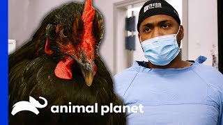 Chicken Needs Surgery After Being Attacked By A Coyote | The Vet Life by Animal Planet