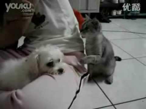 史上最欠揍的猫!打到後面狗狗終於受不了了!