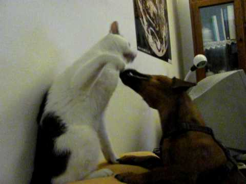 dachshund vs cats