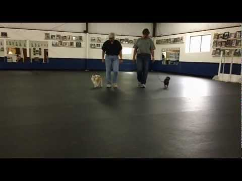William the Chihuahua: Dog Training with Connie Cleveland