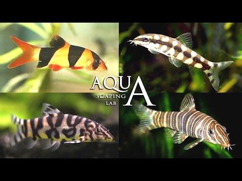 acquariofilia - botia