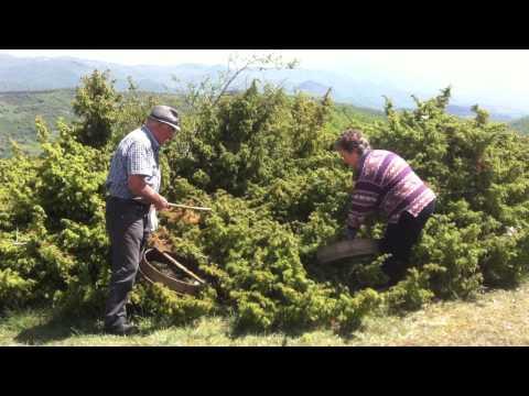 bombay sapphire juniper berry harvest tuscany